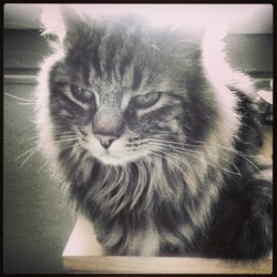 Tyrael, chat Maine Coon