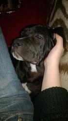 Tyrion, chien Cane Corso
