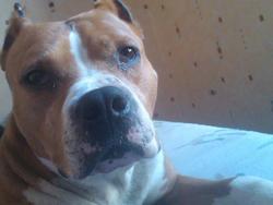 Tyron, chien American Staffordshire Terrier