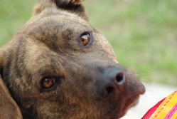 Tyron, chien Cão fila de São Miguel