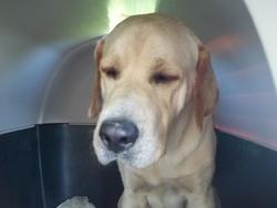 Tyron, chien Labrador Retriever