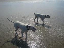 Tyrone, chien Dogue argentin