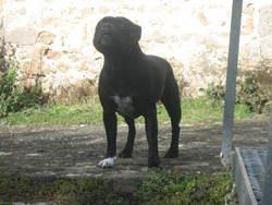 Tysa, chien Staffordshire Bull Terrier
