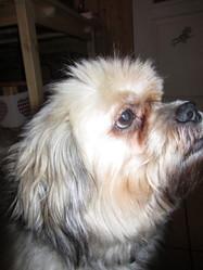 Tyson, chien Lhassa Apso