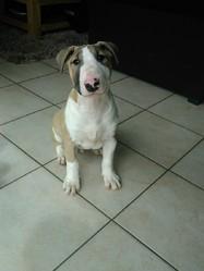 Tyson, chien Bull Terrier