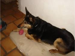 Hurican, chien Berger allemand