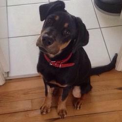 Tyson, chien Beauceron