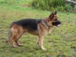 Tyson, chien Berger allemand