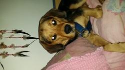 Tyson, chien Beagle-Harrier
