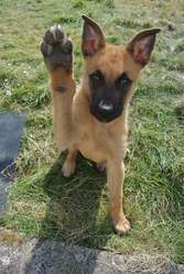 Tyson, chien Berger belge