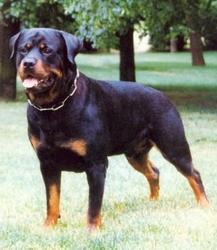 Tyson, chien Rottweiler