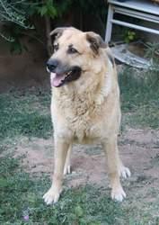 Tyson, chien