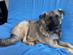 Tyson, chien Border Collie