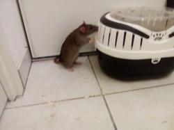 Tyson, rongeur Rat