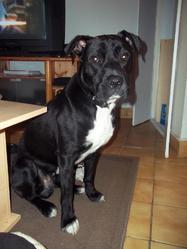 Tyson, chien Staffordshire Bull Terrier