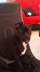 Tyson, chien American Staffordshire Terrier