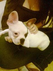Tyson, chien Bouledogue français
