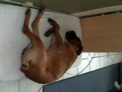 Tyson, chien Boxer