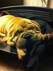 Tyson, chien Shar Pei