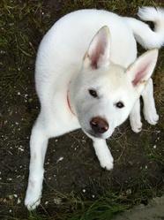 Tyson, chien Akita Inu