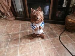 Tyson, chien Yorkshire Terrier