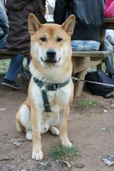 Tyson, chien Shiba Inu