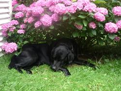 Tyzen, chien Labrador Retriever