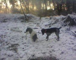 Tyzer, chien Braque allemand à poil dur