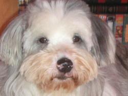 Tyzon, chien Berger des Pyrénées