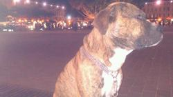 Tyzon, chien Dogo canario