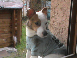 Tyzon, chien Jack Russell Terrier