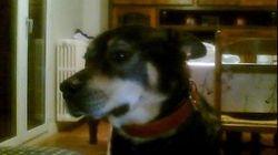 Tyzone, chien Husky sibérien