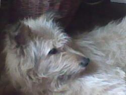 Tziga, chien Berger de Picardie