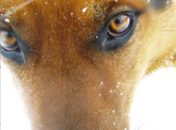 Ubu, chien Berger allemand