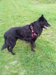 Ubu, chien Berger belge
