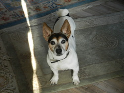 Ucie, chien Jack Russell Terrier