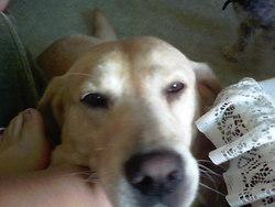 Udefixe, chien Labrador Retriever