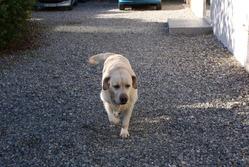 Udia, chien Labrador Retriever