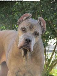 Udie, chien Cane Corso