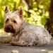 Udina, chien Cairn Terrier