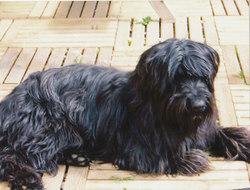 Udine, chien Berger de Brie