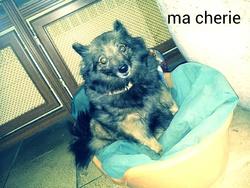 Udine, chien Spitz finlandais