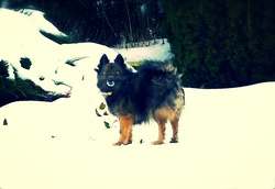 Udine, chien Spitz allemand