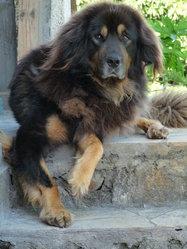 Udji, chien Dogue du Tibet