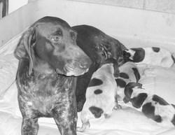 Udia, chien Braque allemand à poil court