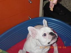 Ugly, chien Bouledogue français
