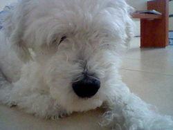 Ugo, chien Bichon à poil frisé