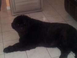 Ugo, chien Terre-Neuve