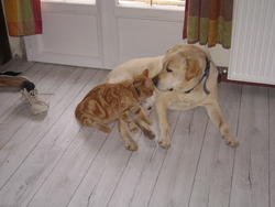 Ugo, chien Labrador Retriever