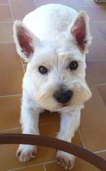 Ugo, chien West Highland White Terrier